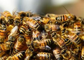 Neue Studienergebnisse zeigen, dass Glyphosat das Immunsystem von Honigbienen schwächt, Foto: PollyDot / pixabay.com