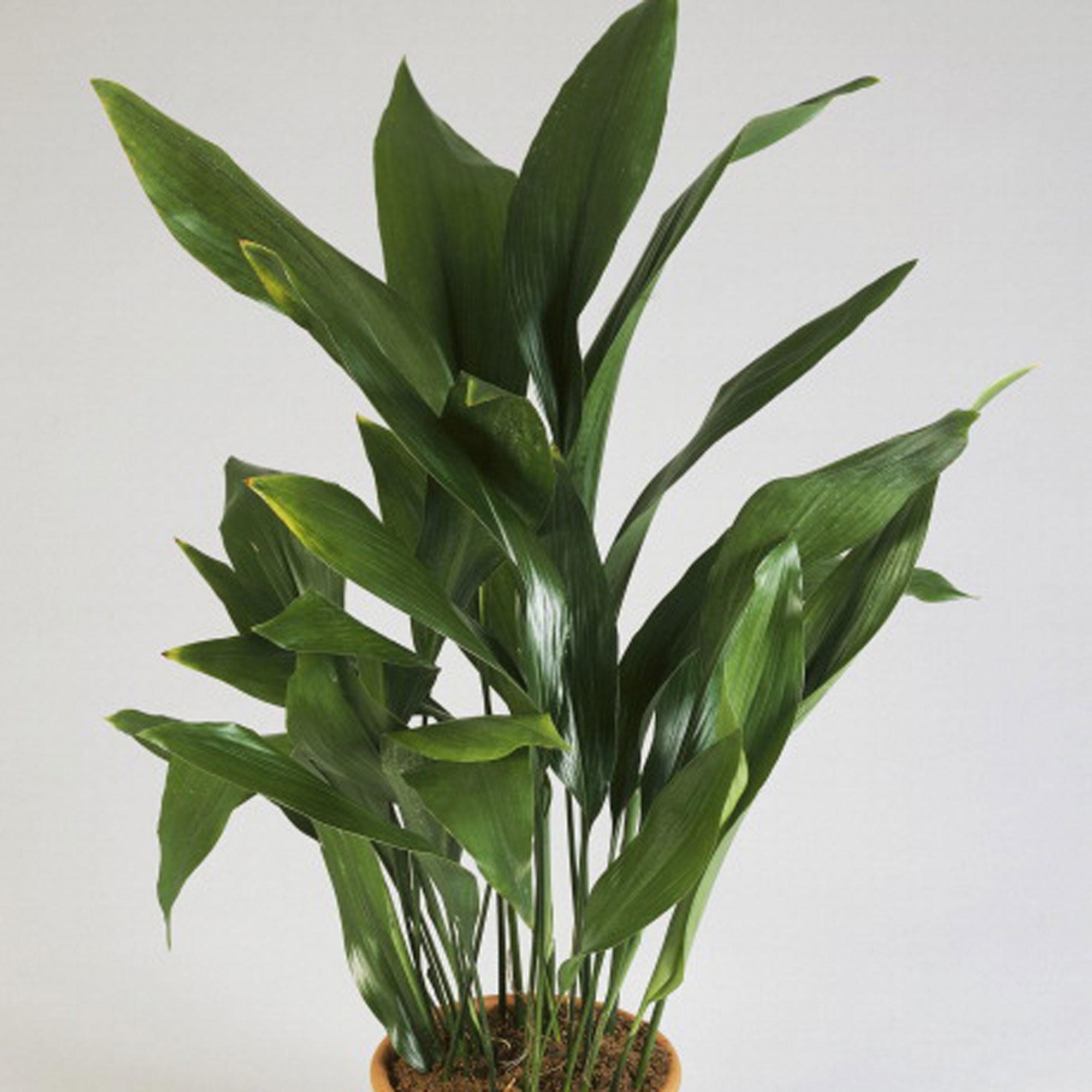Best Kitchen Gallery: Best Low Light Houseplants Sunset Sunset Magazine of Household Tropical Plants on rachelxblog.com