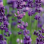 Your Ultimate Guide To Planting And Growing Aromatic Lavender Sunset Sunset Magazine