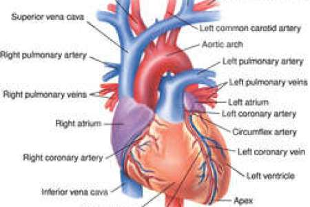 Interior picture of a heart electronic wallpaper electronic the circulatory system atrium heart wikipedia diagram of the human heart cropped svg location structure of the heart the left half of the heart heart ccuart Gallery