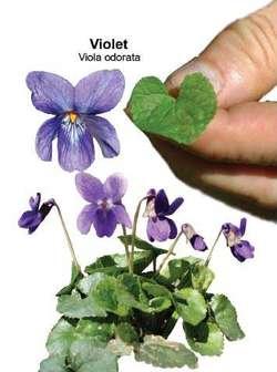 Imagini pentru Viola odorata
