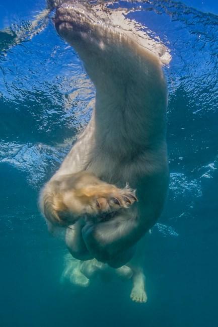 Paws of polar bear