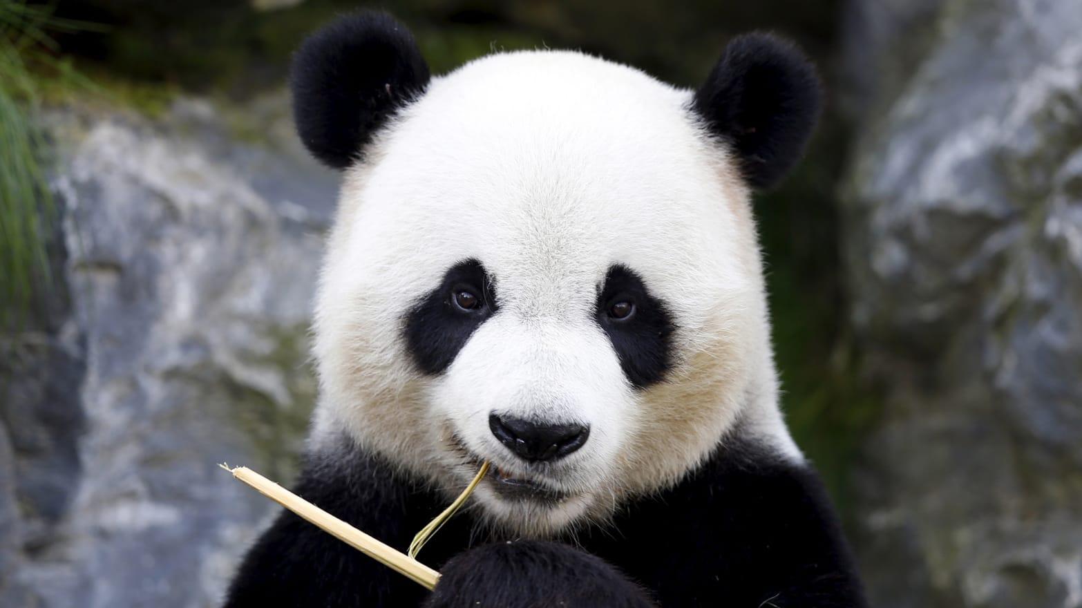 Pandas Rainforest