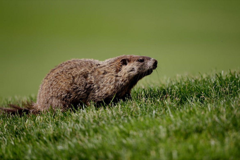 marmot on a fairway