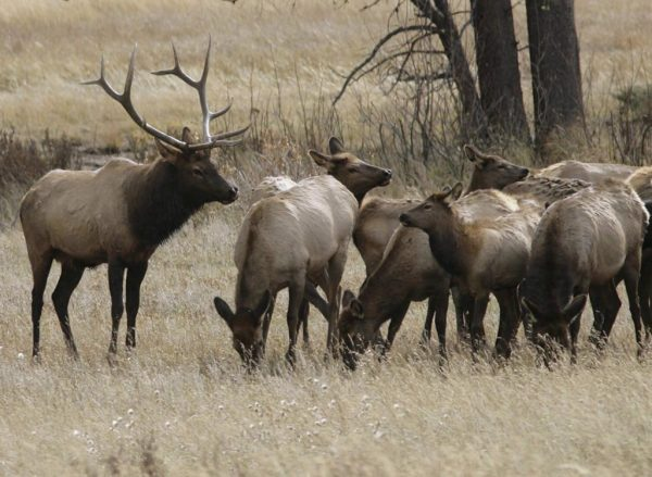 A bull elk keeps a watchful eye on a herd of cow elk in Rocky Mountain National Park near Estes Park, Colo. on Oct. 1, 2006. (AP-David Zalubowski/The Canadian Press)