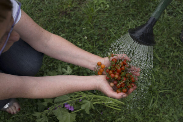 harvested-tomatoes