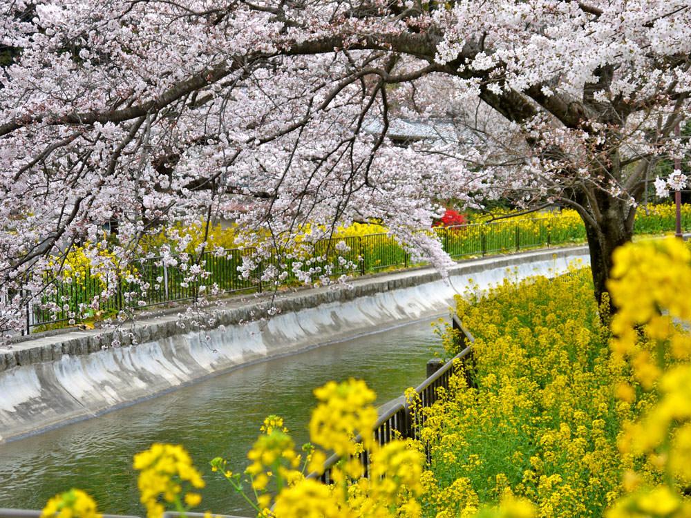 2020日本櫻花最前線!日本各地開花、滿開時間預測!(1/9日本第一回預測)