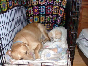 Lab in crate sleeping.
