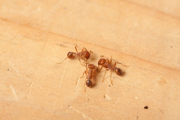 Ant Control New Jersey Pest Extermination Services In Morristown Nj 07960