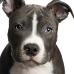 Training A Pit Bull Puppy Thriftyfun