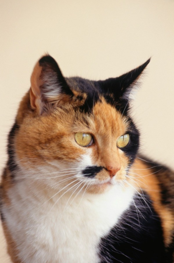 Calico Breed Information And Photos ThriftyFun