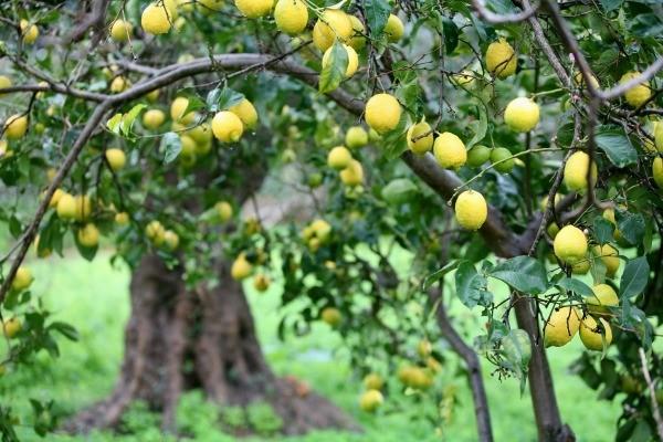 Bilderesultat for lemon tree