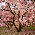 Growing Magnolia Trees Thriftyfun