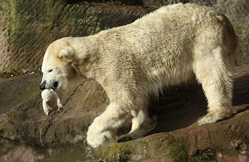 polar bear cubs eat germant
