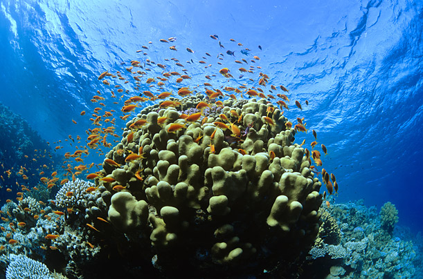 Coral reef off the Egyptian coast