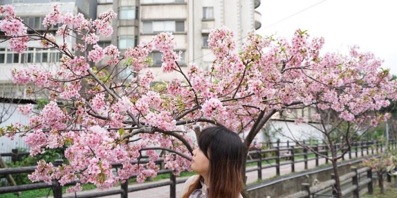 2020新竹建華里東南街汀甫圳櫻花開了~櫻花步道花況報導--踢小米的生活