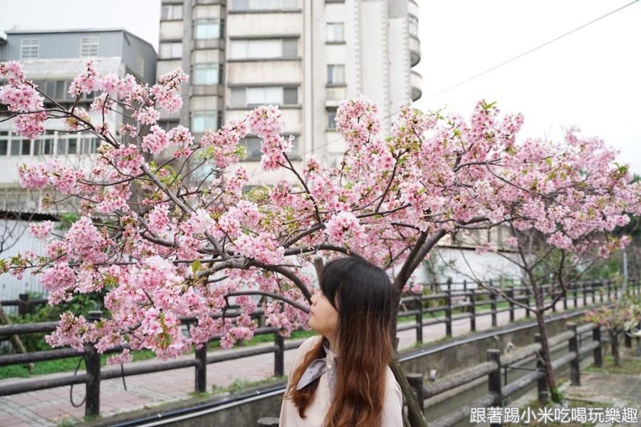 2020新竹建華里東南街汀甫圳櫻花開了~櫻花步道花況報導–踢小米的生活