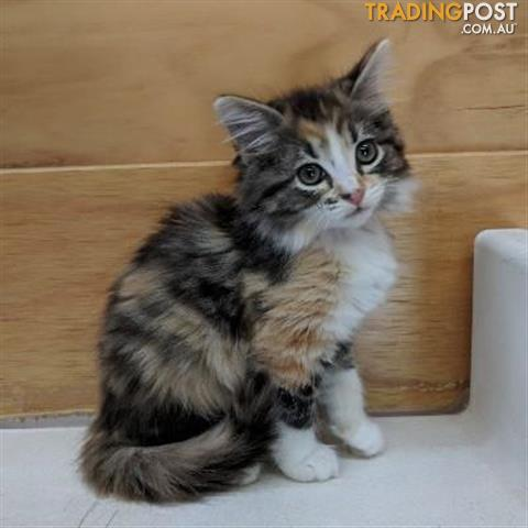 Possum Domestic Medium Hair 0 Years 10 Months 2 Weeks