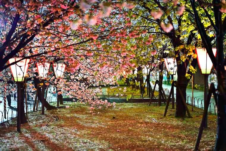 「2019大阪造幣局桜の通り抜け夜」の画像検索結果