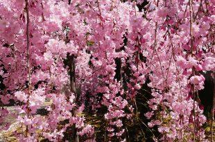[自助旅行] 京都賞櫻,上品蓮臺寺。遊客稀少的粉紅枝垂櫻美景