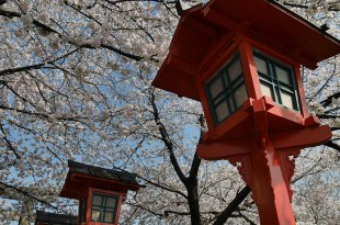 [自助旅行] 京都賞櫻,六孫王神社,和風濃郁的紅燈籠櫻花