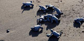 Mersin'de yavru deniz kaplumbağaları ODTÜ güvencesiyle ilk adımlarını atıyor