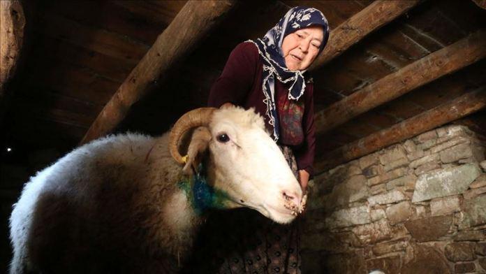 Bolu'da kurtların saldırısı sonucu 21 koyun telef oldu