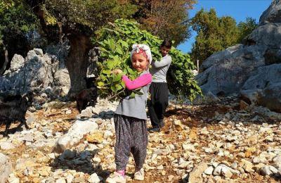 Osmaniye'de köylüler defne yaprağı kesimine başladı