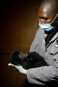 World's largest primate being wiped out by war