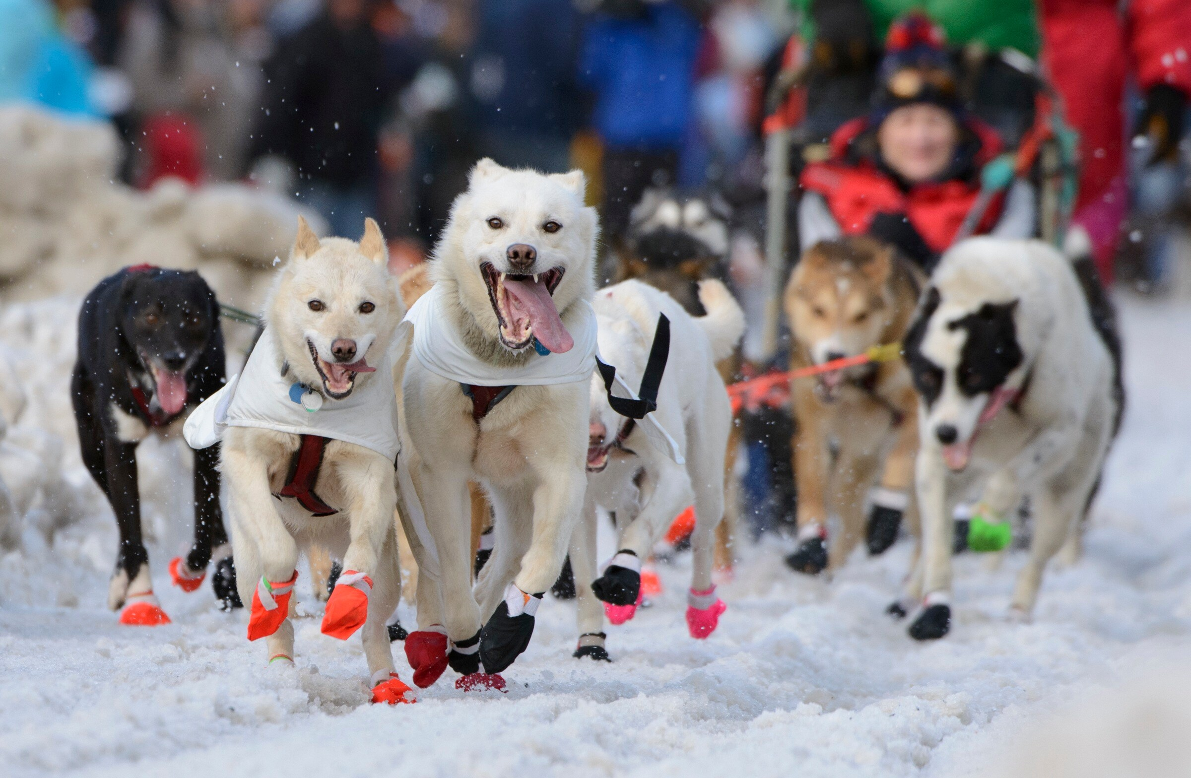And They Re Off Dog Sled Teams Start 1 000 Mile Iditarod