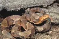 Snakebite Photo