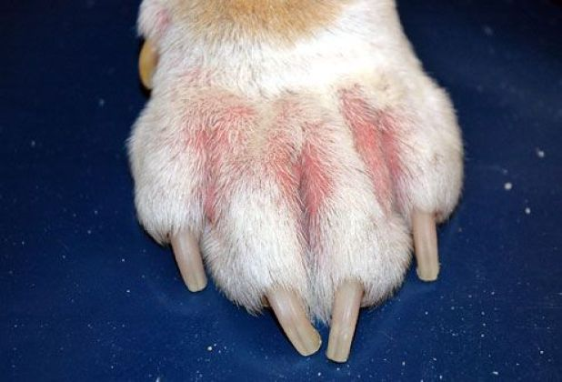 Image result for Skin Infection dog