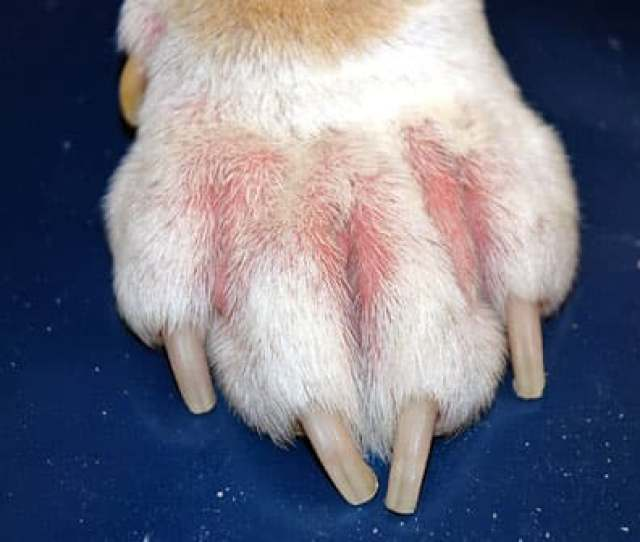 Dog Paw Red And Irritated With Allergy