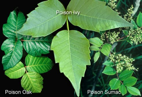 The common 3 poisonous plants to touch
