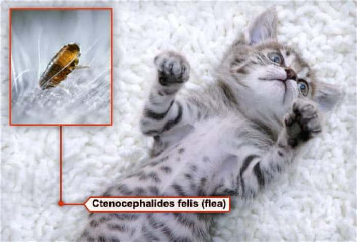 mixed breed kitten lying on back with flea in fur