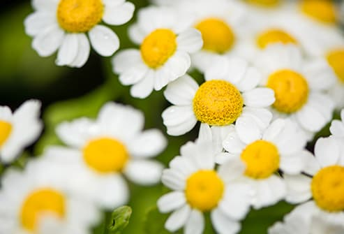 Feverfew are potentially dangerous herbs