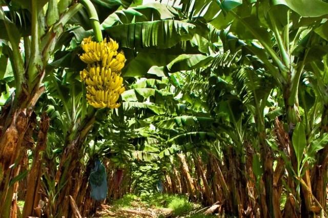 photo of banana plantation