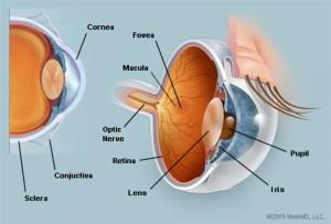 The Eyes (Human Anatomy): Diagram, Optic Nerve, Iris