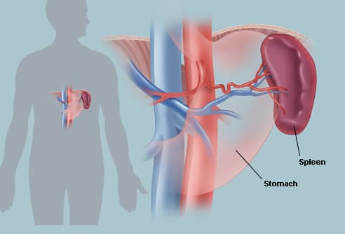 The Spleen (Human Anatomy): Picture, Location, Function