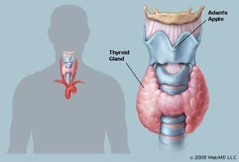 The Thyroid (Human Anatomy): Picture, Function, Definition