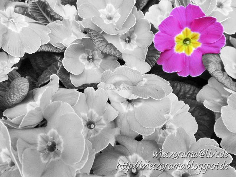 Das Schwarzweissfoto zeigt Primeln und enthaelt einen Farbfokus auf eine Primelbluete in den Farben Pink und Gelb