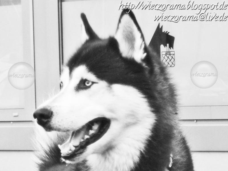 Das Schwarz Weiss Foto zeigt einen Husky im Portrait