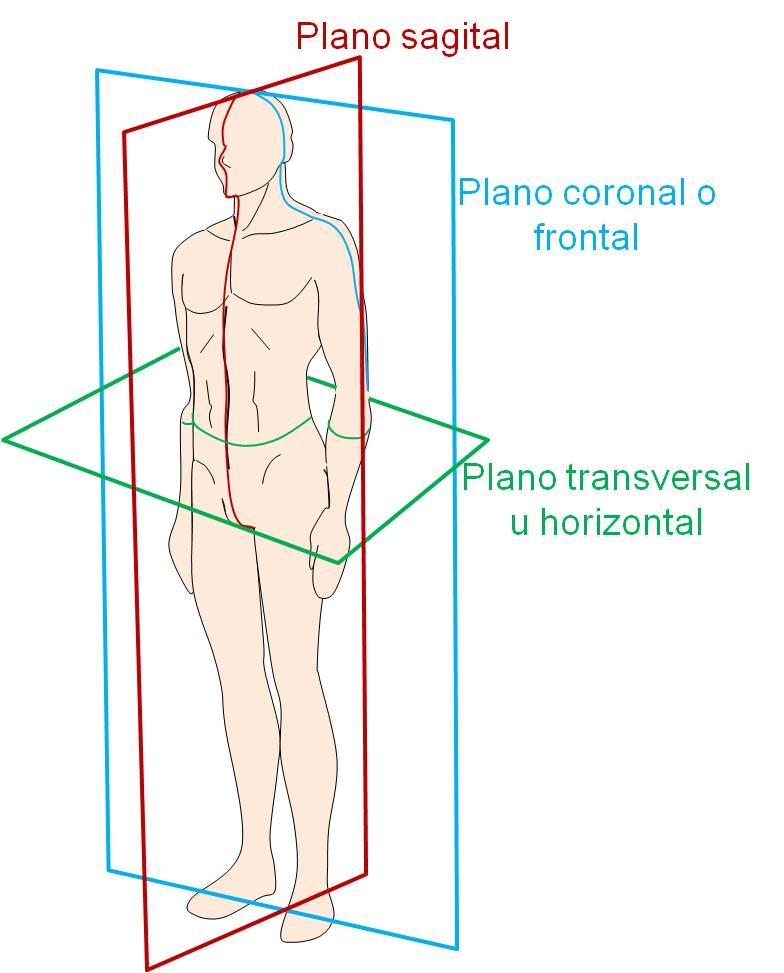 anatomiamusculoesqueletica – ANATOMIA MUSCULOESQUELÉTICA