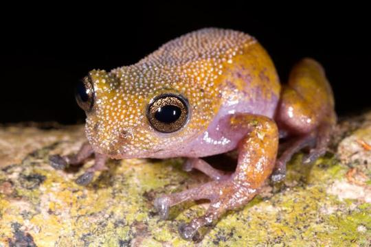 <br /><br /> Des Nachts schimmert Gracixalus lumarius pink und gelb. Tagsüber sieht der Frosch wieder ganz anders aus. Ein kleines Wunder der Natur, das sich die Forscher bisher nicht erklären können.<br /><br />