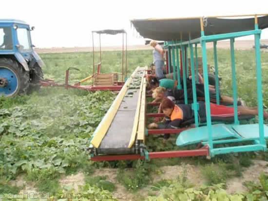 Present Invention StateofTheArt Cucumber Harvester