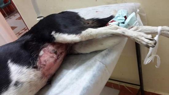 جانب من إصابة الكلبة