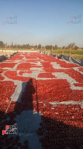 الزراعة تخطط لتصدير الطماطم المجففة وباقى المنتجات للعالم أجمع