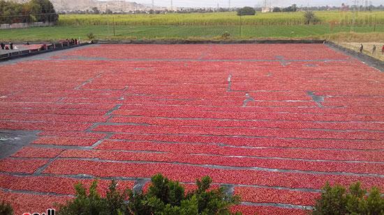 الأقصر تتحول لعالم تصدير الحاصلات الزراعية والطماطم المجففة