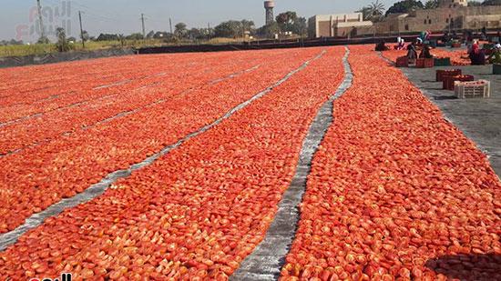 الأقصر تصدر الطماطم المجففة لدول الاتحاد الاوروبى وأمريكا الجنوبية والدول العربية والآسيوية