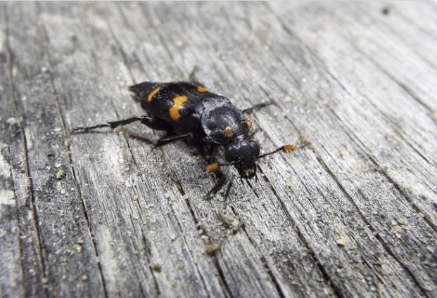 Burial beetle